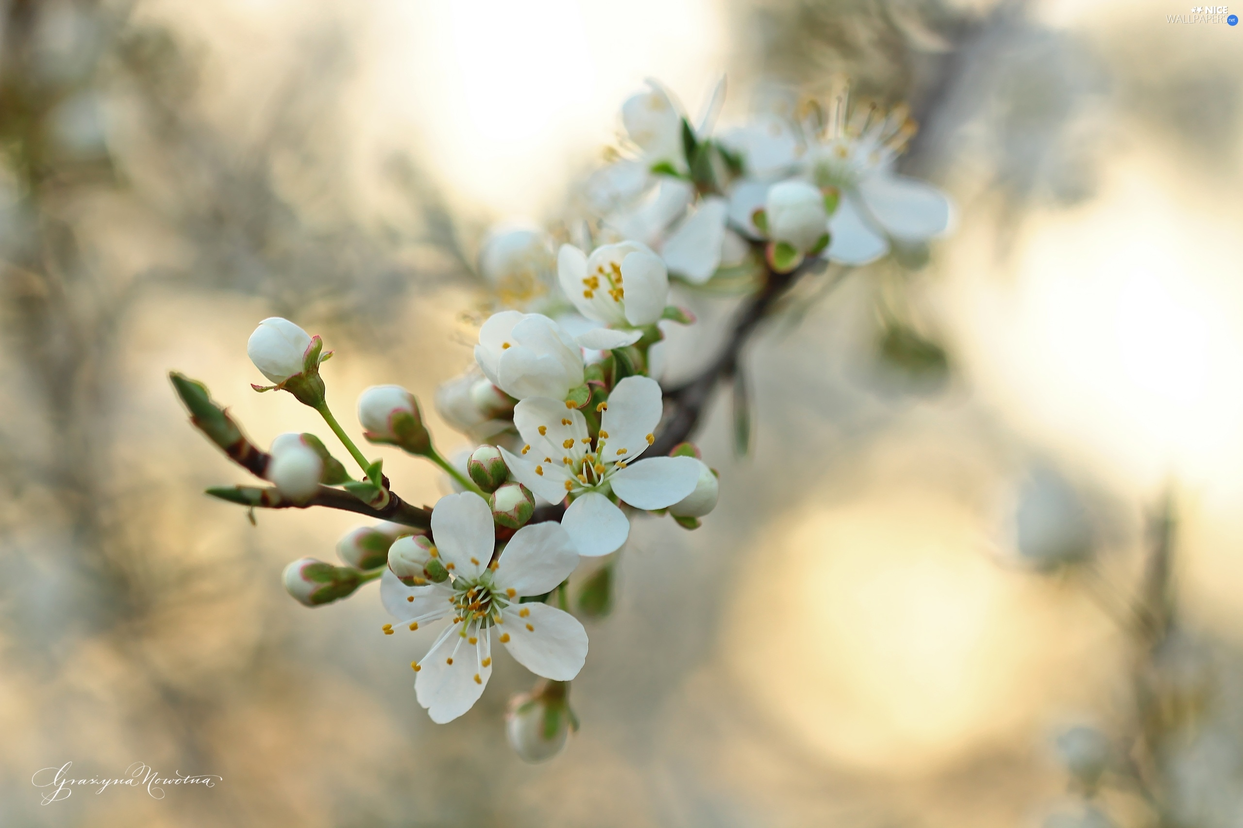 fruit trees White Flowers Nice wallpapers 2560x1707