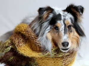 Scarf, dog, Collie rough