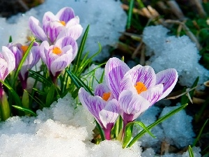 snow, Spring, purple, crocuses, white