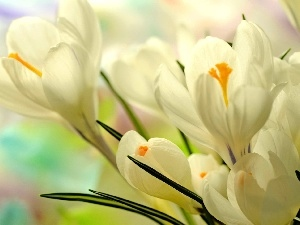 Spring, White, crocuses