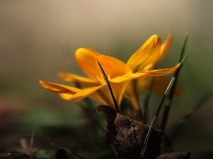 Yellow, Colourfull Flowers, Spring, crocus