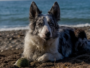 the ball, dog, Sand, water, Beaches, Border Collie