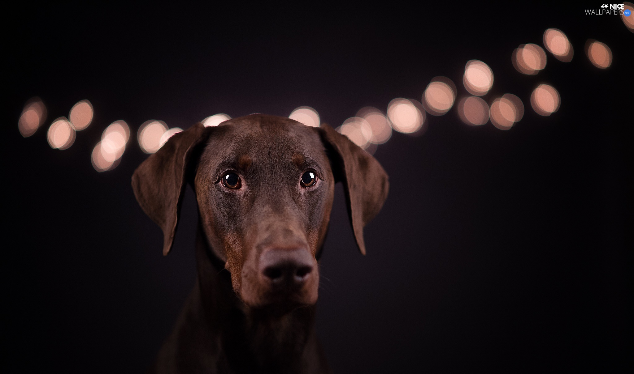 Black, background, Doberman, light, dog