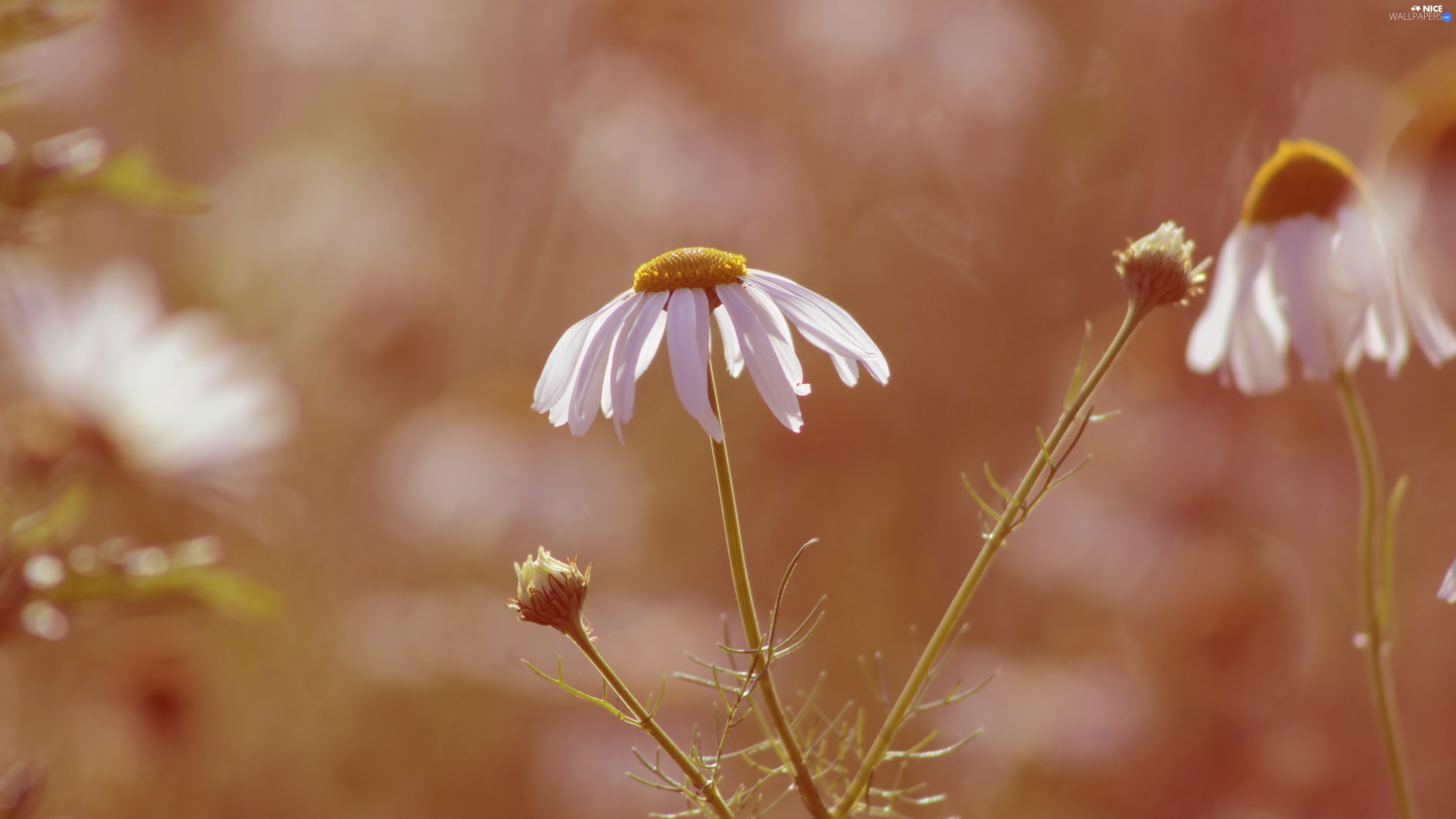 rapprochement, blurry background, chamomile, Buds, flower