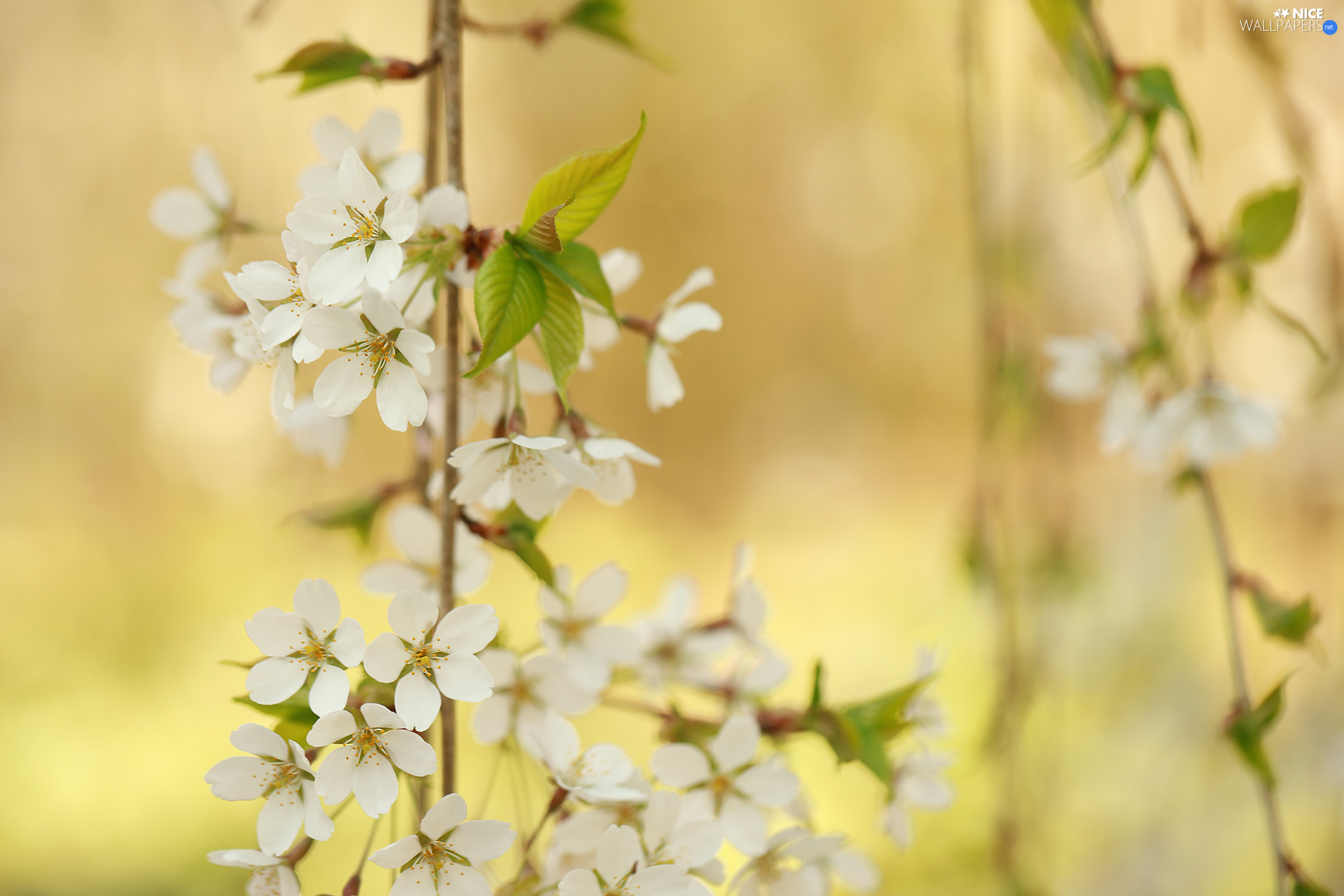 Twigs, cherry, Flowers, Fruit Tree, White