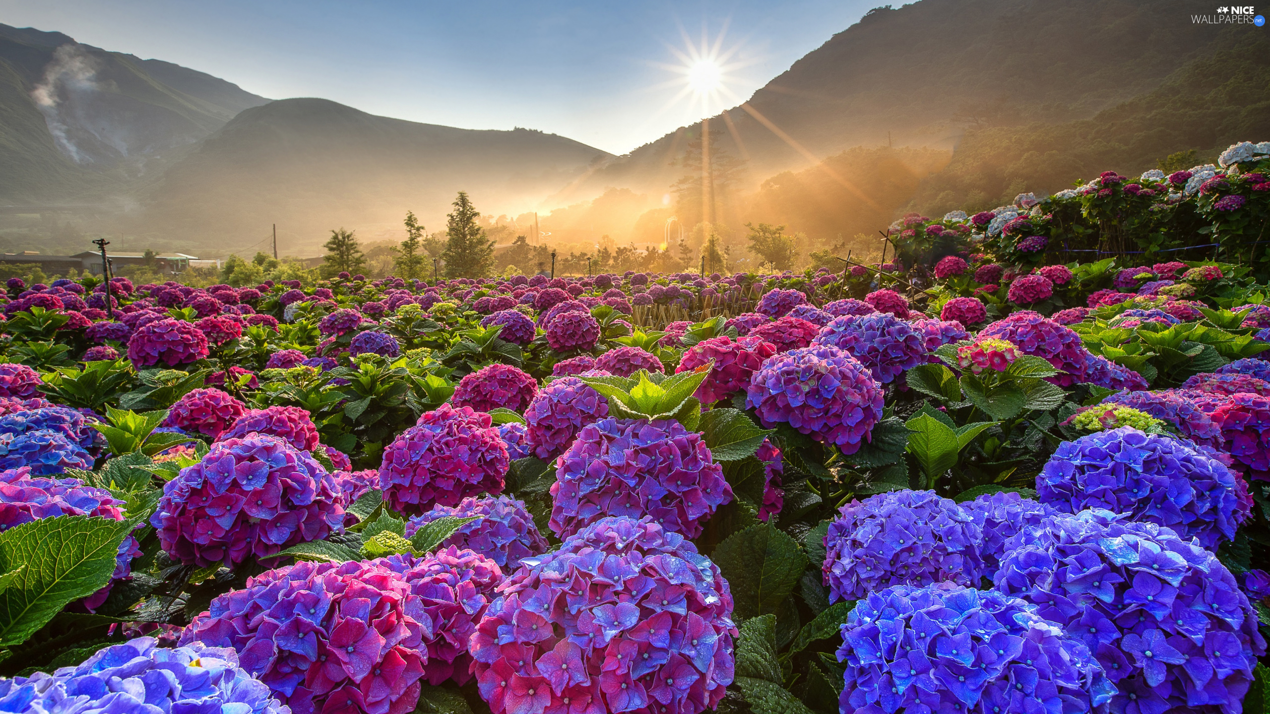 Flowers, color, rays of the Sun, hydrangeas, viewes, plantation, Mountains, trees