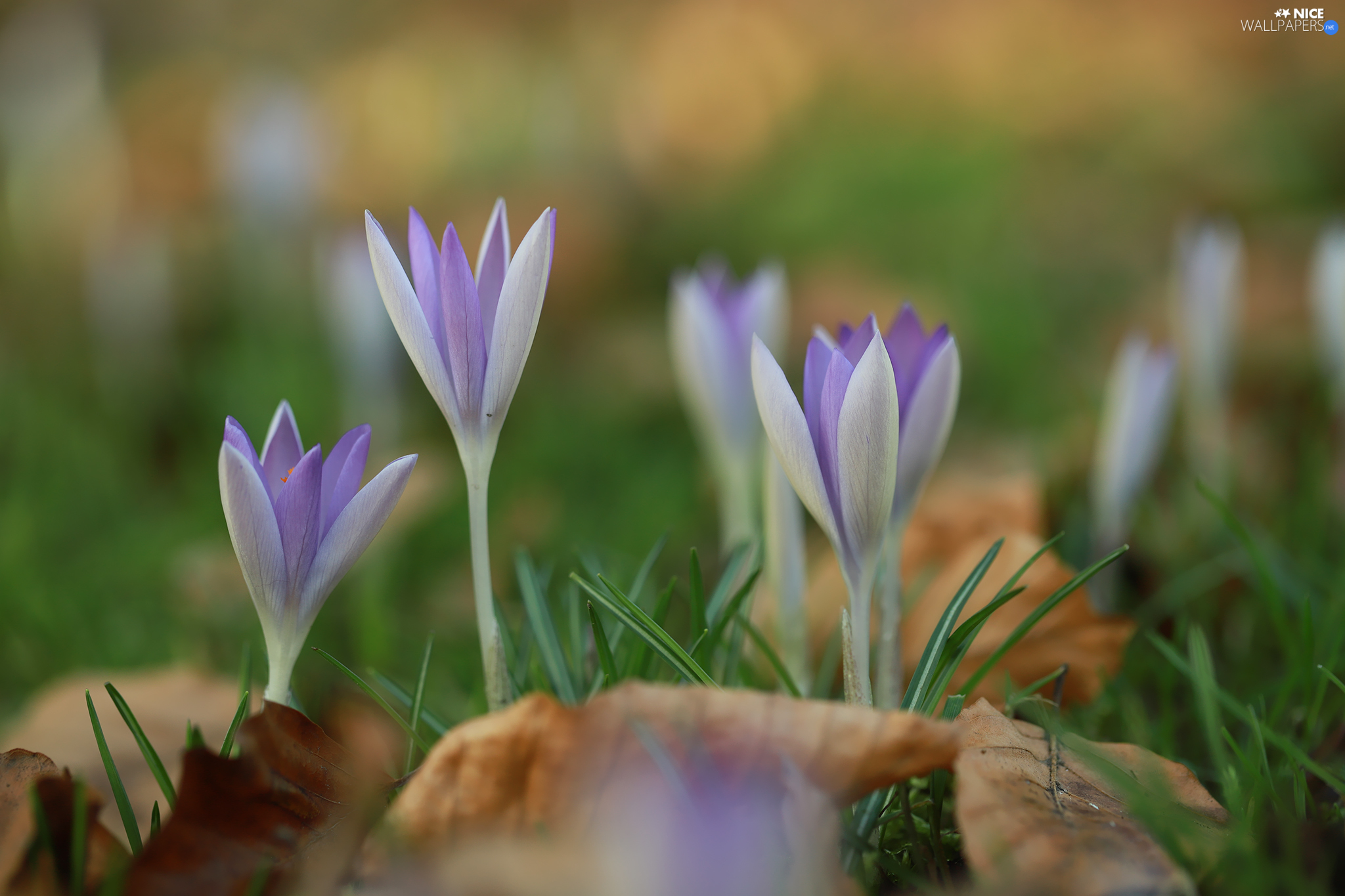 blooming, crocuses, Flowers, lilac
