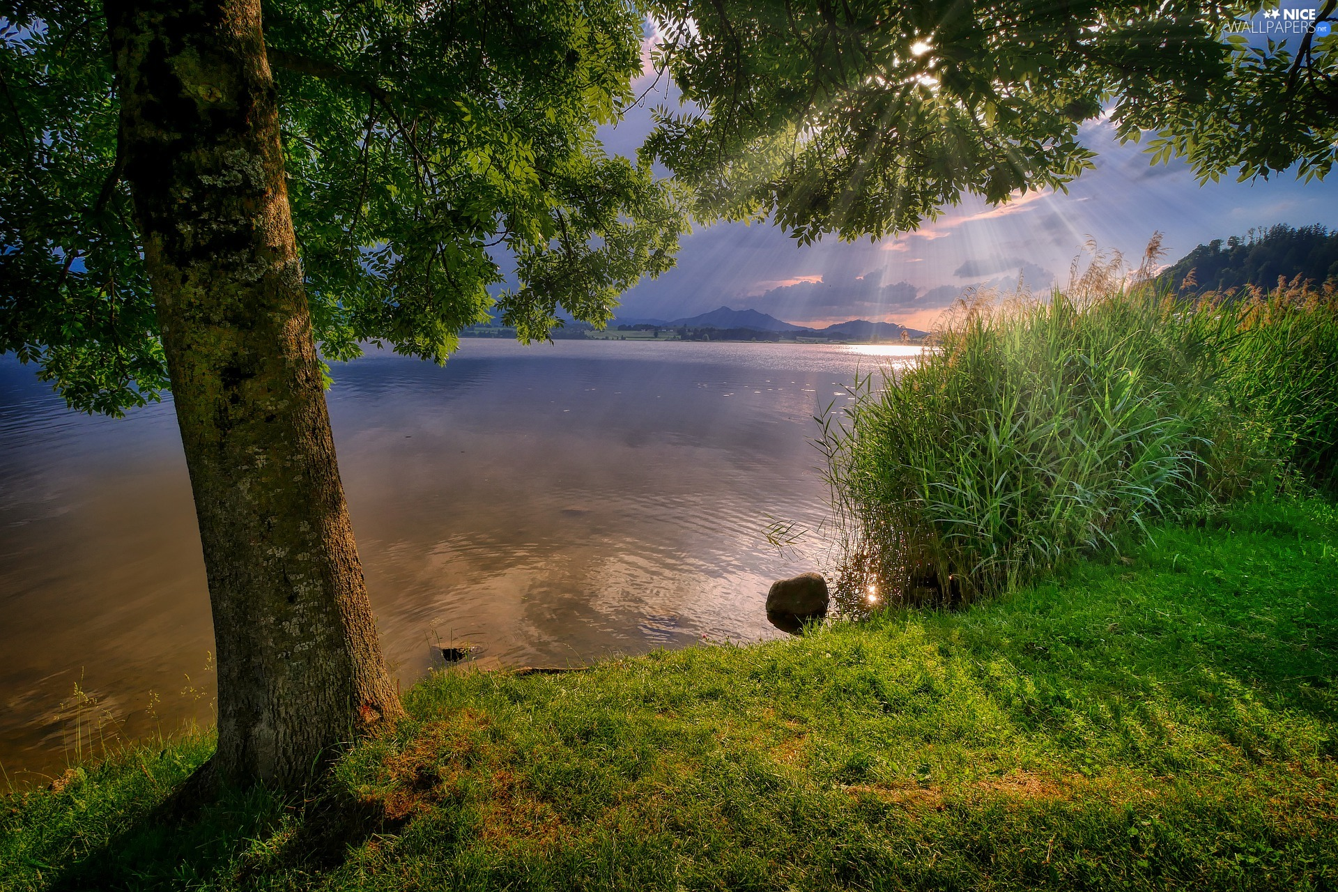 rushes, coast, rays of the Sun, trees, lake, grass, evening