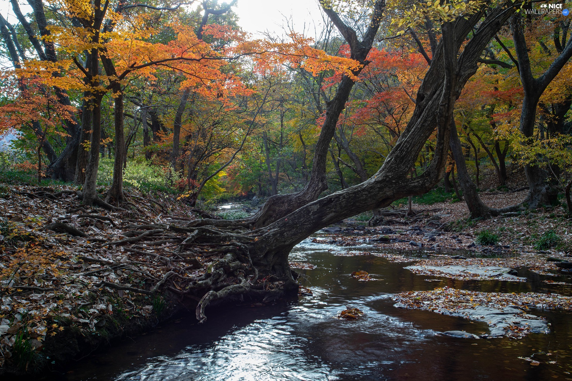 trees, viewes, River, inclined, roots, forest, autumn, trees