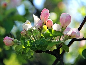 donuts, Blossoming, apple-tree