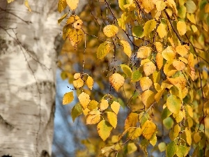 Yellow, birch, autumn, Leaf