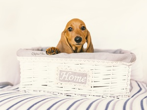 dog, Puppy, basket, dachshund