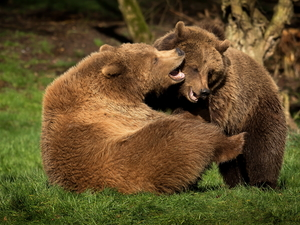Two cars, Brown Bears