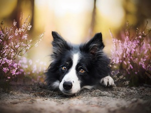 Border Collie, heathers