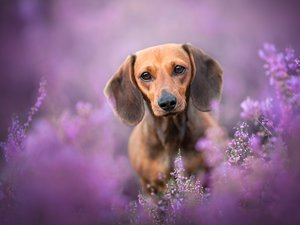 dog, dachshund, heathers, Brown