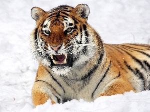 winter, tiger, canines, dangerous