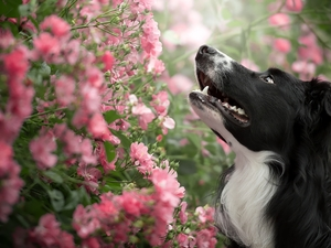 Pink, Flowers, Border Collie, Bush, dog