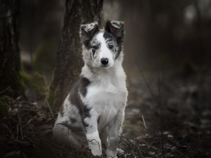 trees, viewes, Border Collie, Puppy, dog