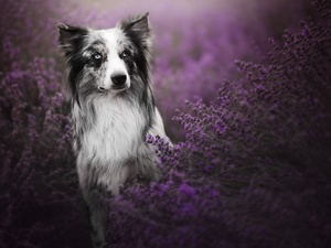 lavender, dog, Border Collie