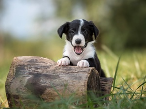 stump, grass, Border Collie, mouth, Puppy