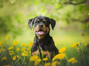 Puppy, Meadow, Common Dandelion, Rottweiler