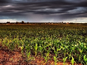 Sky, cultivation, corn-cob, clouds