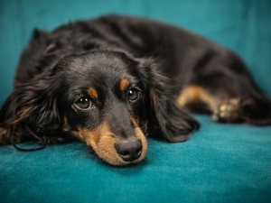 Black, dog, green ones, background, tan, long-haired Dachshund