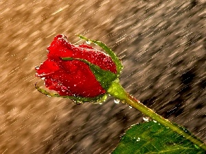 red hot, Rain, drops, rose