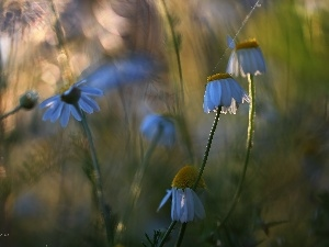 evening, chamomile, Meadow