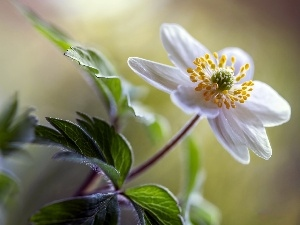 anemone, White, Colourfull Flowers
