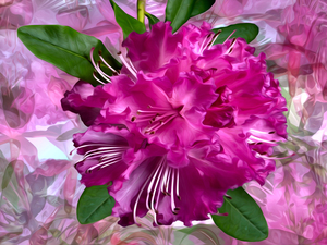rhododendron, graphics, Colourfull Flowers