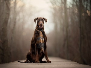 dog, Scarf, footbridge, Doberman