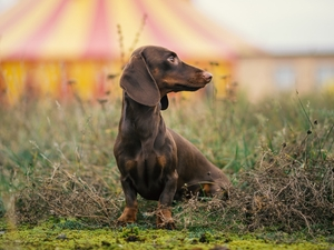dog, Dachshund Shorthair, grass, Brown