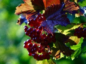 Leaf, change, Grapes