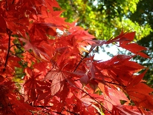 Leaf, maple, Red