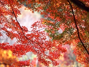 maple, trees, Red
