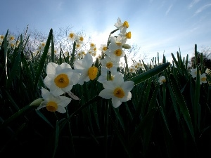 grass, narcissus