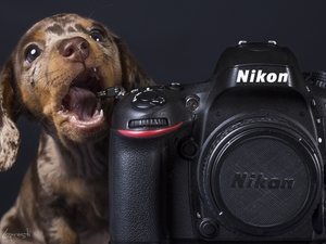 Dachshund Shorthair, Camera, Nikon, Puppy