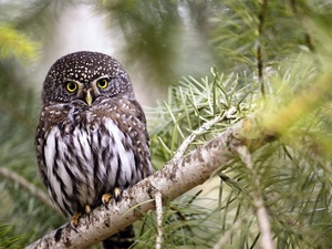 owl, branch, pine, Little Owl