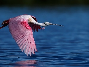 flight, Bird, Pink Spoonbill