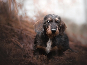 dog, muzzle, Plants, Wirehaired Dachshund