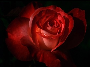 rose, Beauty, red hot