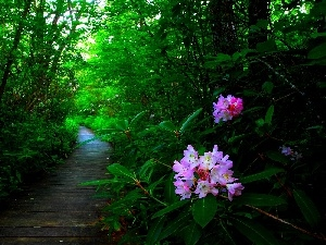 forest, Flowers, rhododendron, Path
