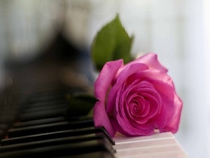 rose, keyboard, Pink