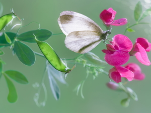 Colourfull Flowers, butterfly, Small White, peas