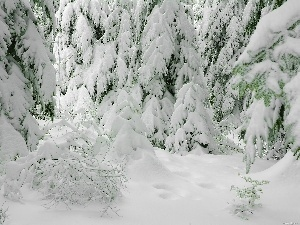snow, Spruces, Covered