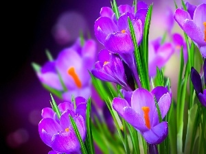 Spring, purple, crocuses