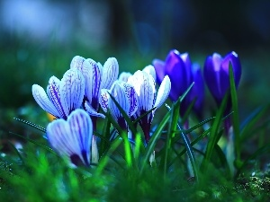 Spring, crocuses, Flowers