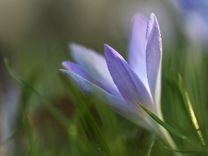 lilac, Colourfull Flowers, Spring, crocus