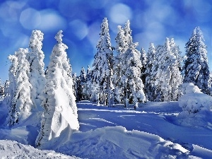 winter, Snowy, Spruces, forest